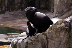 Sea lion, friendly animals at the Prague Zoo Royalty Free Stock Images