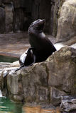 Sea lion, friendly animals at the Prague Zoo Stock Photography