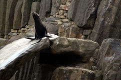 Sea lion, friendly animals at the Prague Zoo. Royalty Free Stock Photography