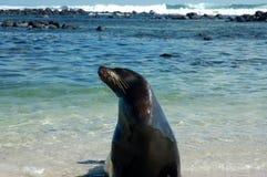 Sea lion,Galapagos. This photo was taken on Loberia beach,San Cristobal Island,Galapagos Stock Photos
