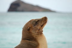 Sea Lion, Galapagos. The closeup portrait of sea lion. Photo taken on Hood Island, Galapagos Stock Image