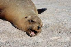 Sea Lion, Galapagos. Photo was taken on Loberia Beach, San Cristobal Island, Galapagos Royalty Free Stock Photo