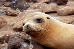 Sea Lion, Galapagos. Royalty Free Stock Images