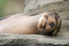 Sea Lion, Galapagos Stock Photos