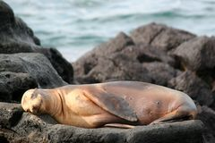 Sea Lion, Galapagos royalty free stock images