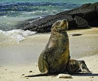Sea Lion, Galapagos Islands, Ecuador. A sea lion, with a pointy nose, whiskers, and little ears, sits and catches the sun on a beach in the Galapagos Islands royalty free stock photo
