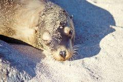 Sea lion, Galapagos Islands, Ecuador. Sunbathing sea lion (Zalophus californianus), Galapagos Islands, Ecuador Stock Photography