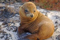 Sea lion, Galapagos Islands, Ecuador Royalty Free Stock Images