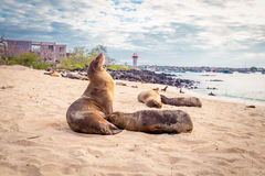 Sea lion, galapagos islands Royalty Free Stock Image