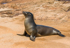 Sea lion, Galapagos islands, Ecuador Royalty Free Stock Image