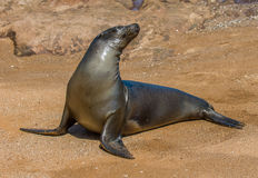 Sea lion, Galapagos islands, Ecuador Stock Images