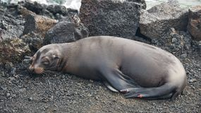 Sea Lion in Galapagos Islands Royalty Free Stock Photos