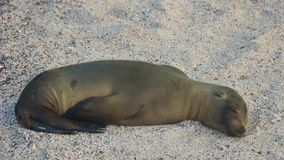 Sea Lion in Galapagos Islands Stock Photo