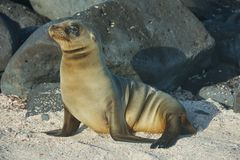 Sea Lion in Galapagos Islands Royalty Free Stock Photography