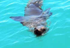 Sea lion, Galapagos Stock Photography
