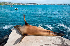 Sea lion, Galapagos Stock Image