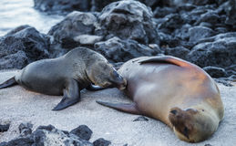 Sea lion in Galapagos Royalty Free Stock Images