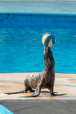 Sea lion game to ball Stock Photography