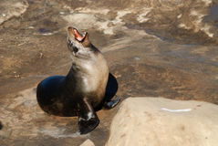A Sea Lion Grin. A sea lion Displays his teeth with a big yawn Stock Image