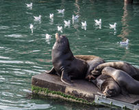 Sea lion guarding sleeping sea lions Stock Images