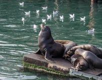 Sea lion guarding sleeping sea lions Stock Images