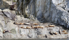 Sea Lion Haul-out Royalty Free Stock Photos