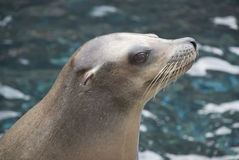 Sea lion head Royalty Free Stock Images