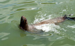 Sea lion, head out of the water Royalty Free Stock Photos