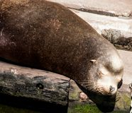 Sea Lion head shot royalty free stock image