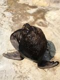 Sea lion heading up royalty free stock photo
