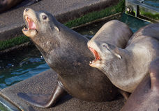 Sea Lion howling Stock Images
