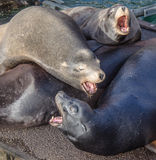 Sea Lion howling Stock Photography