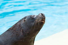 Sea lion Royalty Free Stock Images