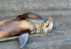 Sea Lion, I Wonder Stock Images