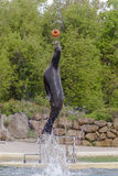 Sea-lion. A sea-lion jumps to catch a ball, Color, vertical Royalty Free Stock Images