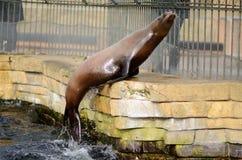 Sea Lion zoo kopenhagen denmark royalty free stock images