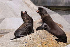 Sea lion juveniles Stock Photo