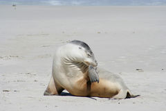 Sea lion, Kangaroo Island, South Australia Stock Image
