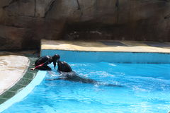 Sea Lion Kiss. Acqua Parks - Zoomarine, Torvaianica, Rome, Italy - Sea Lion performance Stock Images