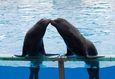 Sea lion kiss Royalty Free Stock Photo