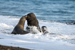 Sea lion kiss on the beach in Patagonia Royalty Free Stock Photography