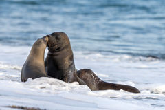 Sea lion kiss on the beach in Patagonia Royalty Free Stock Photos