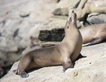 Sea lion at La Jolla Cove in California Stock Image