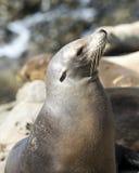 Sea lion at La Jolla Cove in California Stock Photo