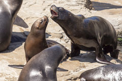 Sea-lion Royalty Free Stock Images