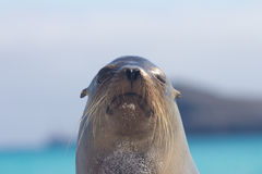 Sea Lion Look. The head of a sea lion Stock Image
