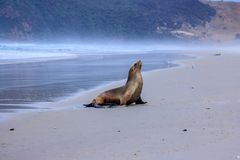 Sea lion looking for his friends at Allans beach royalty free stock images