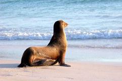 Sea lion looking at the ocean. On a beach in the Galapagos Islands Stock Image