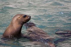 Sea lion looking over the water royalty free stock images