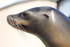 A Sea lion. Looking in to the distance Stock Images